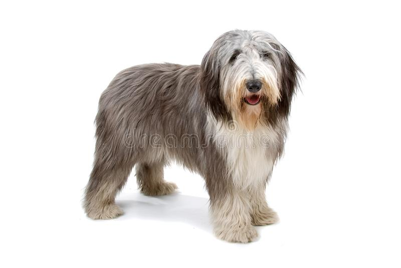 Perro pastor inglés viejo (bobtail) imagen de archivo