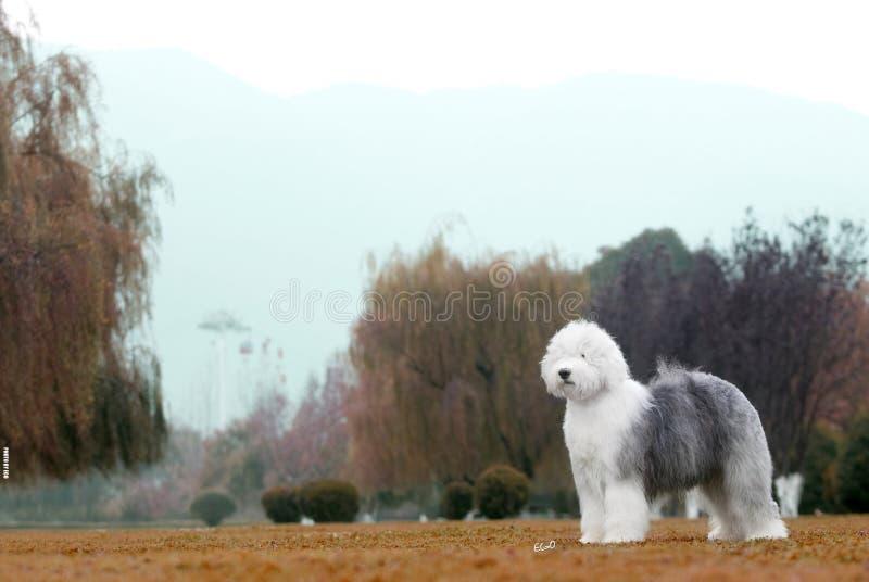 Perro pastor inglés viejo del perro foto de archivo libre de regalías