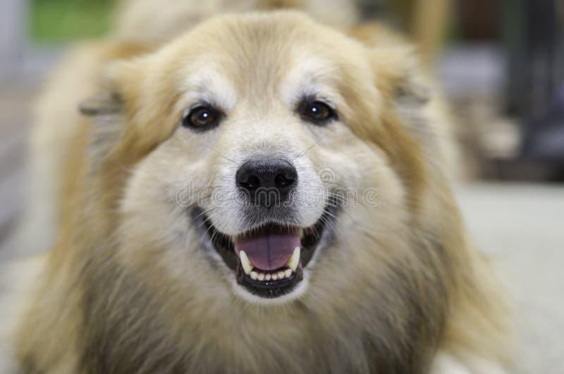 Perro pastor islandés imagenes de archivo