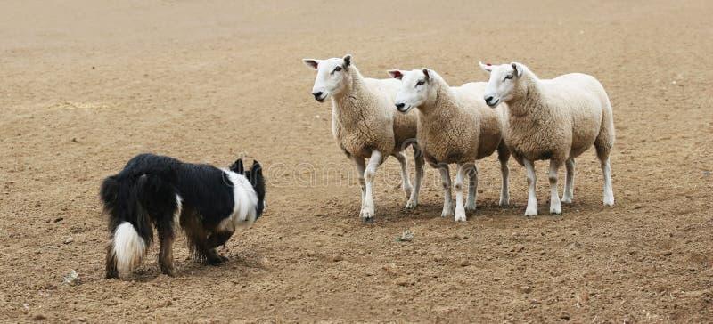 Perro pastor y las ovejas foto de archivo libre de regalías