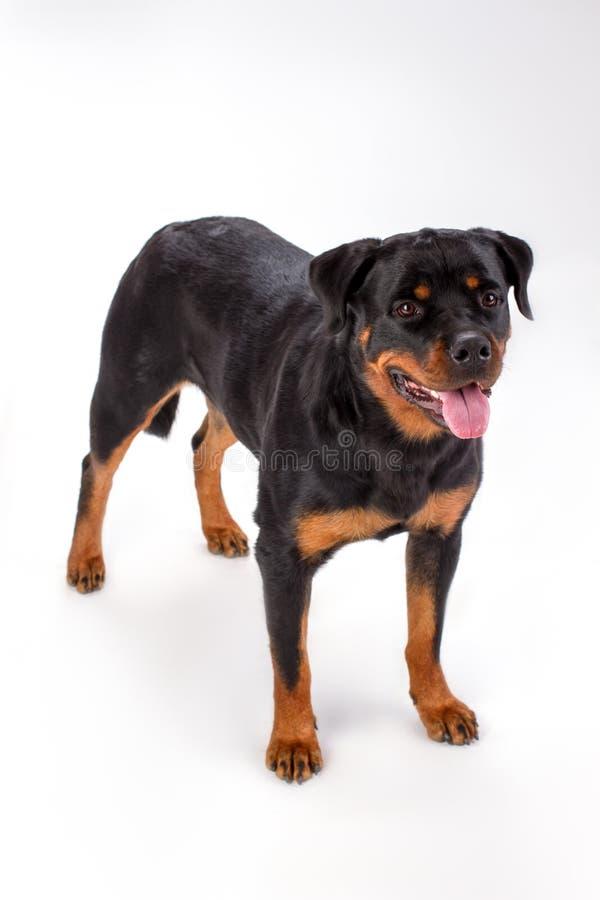 Perro pedigrí joven, fondo blanco fotos de archivo libres de regalías