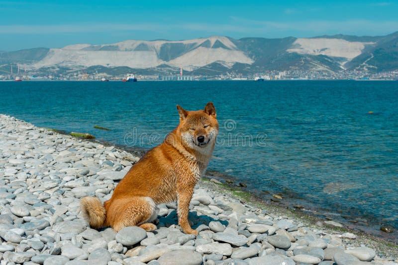 Perro pedigrí joven que descansa sobre la playa Perro rojo del inu del shiba que se sienta cerca del Mar Negro en Novorossiysk imagenes de archivo