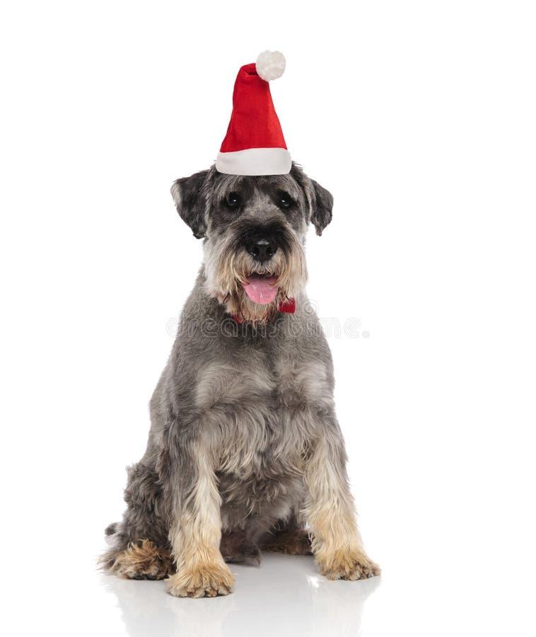 Perro peludo gris lindo que lleva sentarse del sombrero de santa imagen de archivo libre de regalías