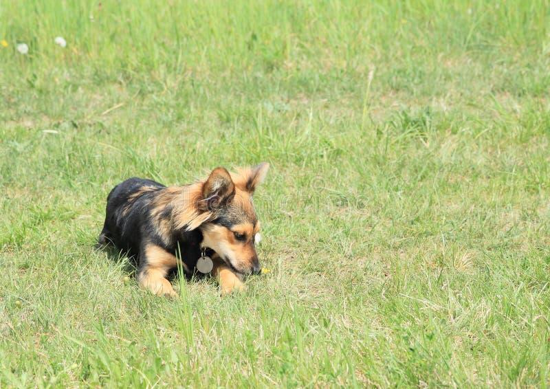 Perro peludo negro y marrón imagenes de archivo