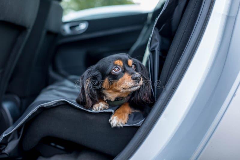 Perro pequeño en el asiento trasero de un auto foto de archivo libre de regalías
