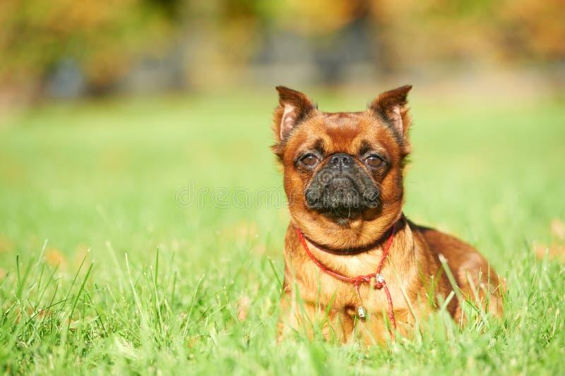 Perro pequeno del brabancon de Griffon Bruselas imagenes de archivo