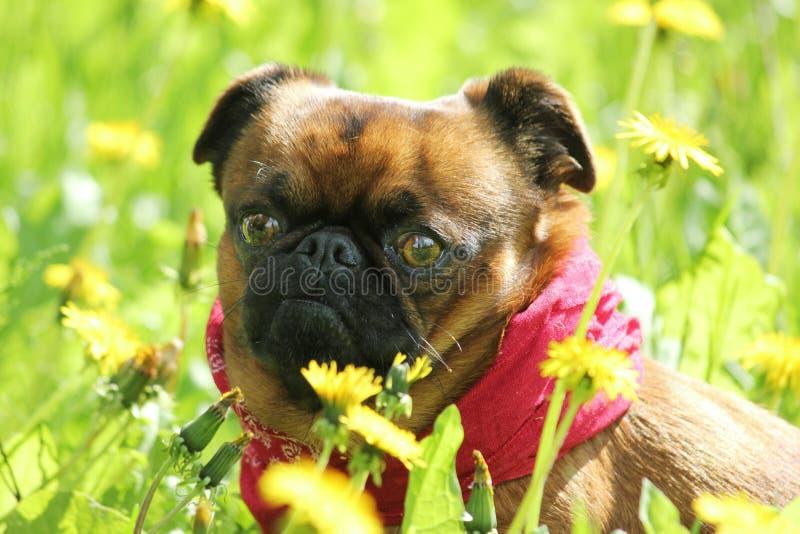 Perro pequeno del brabancon de Griffon Bruselas fotos de archivo libres de regalías