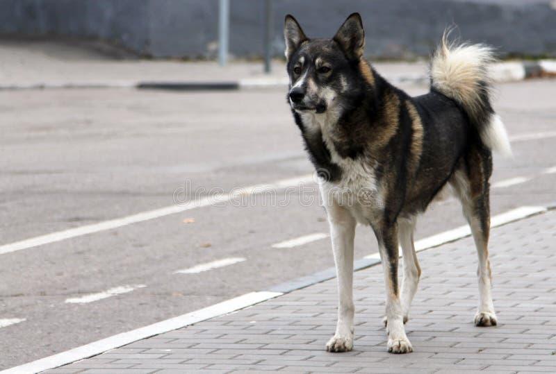 Perro perdido adulto que se coloca en el borde de la carretera fotografía de archivo