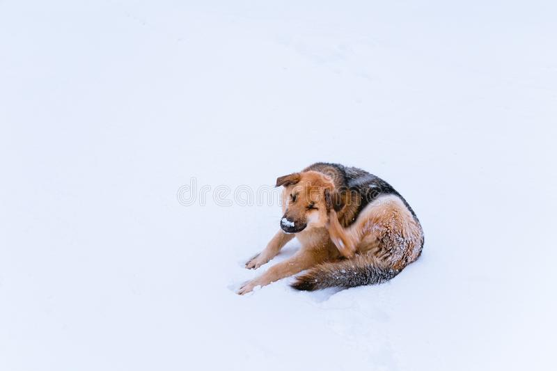 Perro perdido con un microprocesador que miente en la nieve fotos de archivo libres de regalías