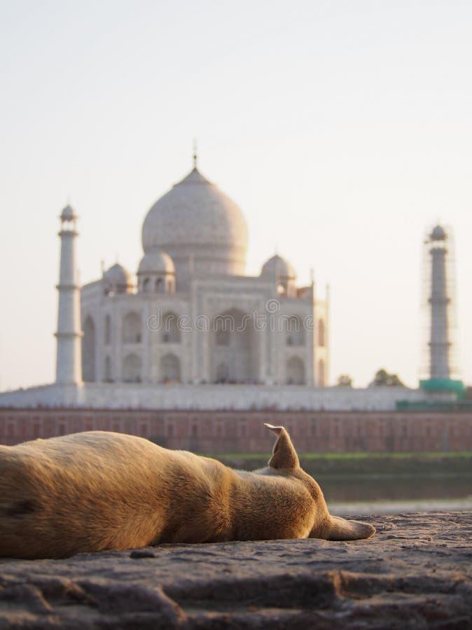 Perro perdido en Taj Mahal foto de archivo