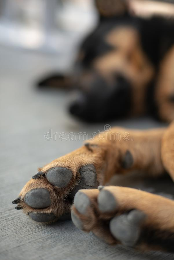 Perro perdido Paw Close para arriba imagenes de archivo