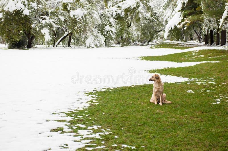 Perro perdido que se sienta en hierba verde en el parque cubierto con nieve fotos de archivo libres de regalías