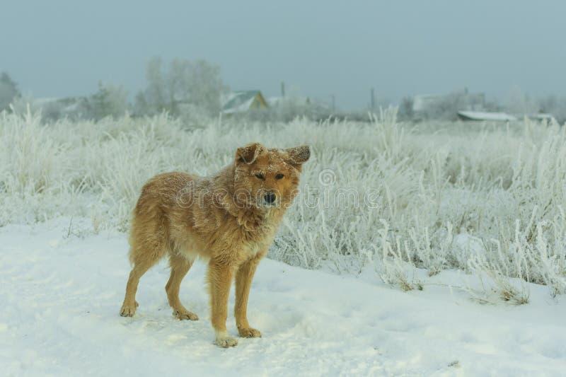 Perro perdido rojo en invierno en el camino imagenes de archivo