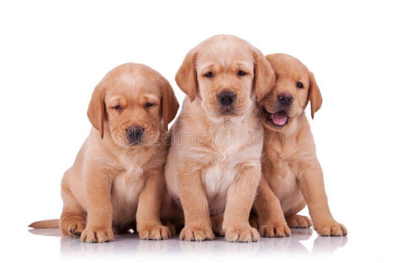 Perro perdiguero adorable de tres pequeño Labrador imagen de archivo