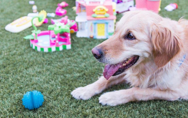 Perro perdiguero de Brown Labrador imagenes de archivo