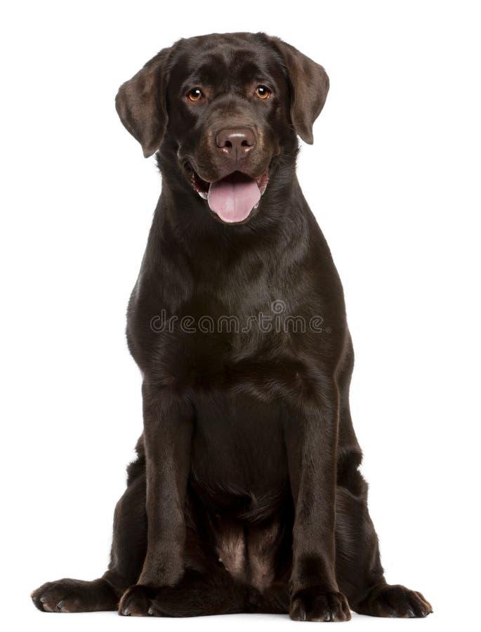 Perro perdiguero de Labrador, 7 meses, sentándose imagenes de archivo