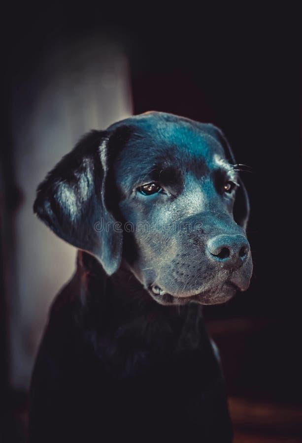 Perro perdiguero de Labrador bonito foto de archivo libre de regalías