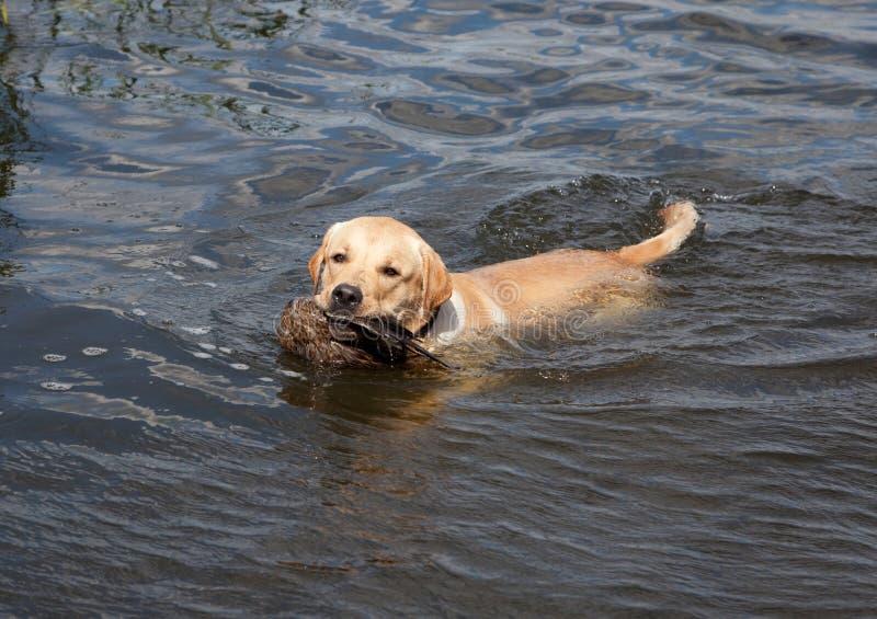 Perro perdiguero de Labrador de la caza imagen de archivo