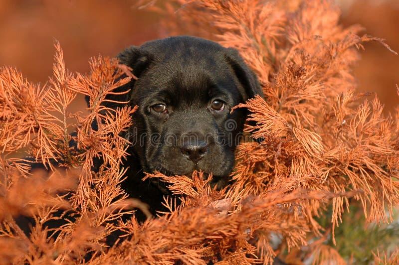 Download Perro Perdiguero De Labrador Del Perrito Foto de archivo - Imagen de pequeño, negro: 1281388