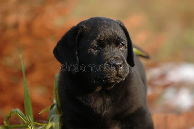 Download Perro Perdiguero De Labrador Del Perrito Foto de archivo - Imagen de mamíferos, watching: 1281542