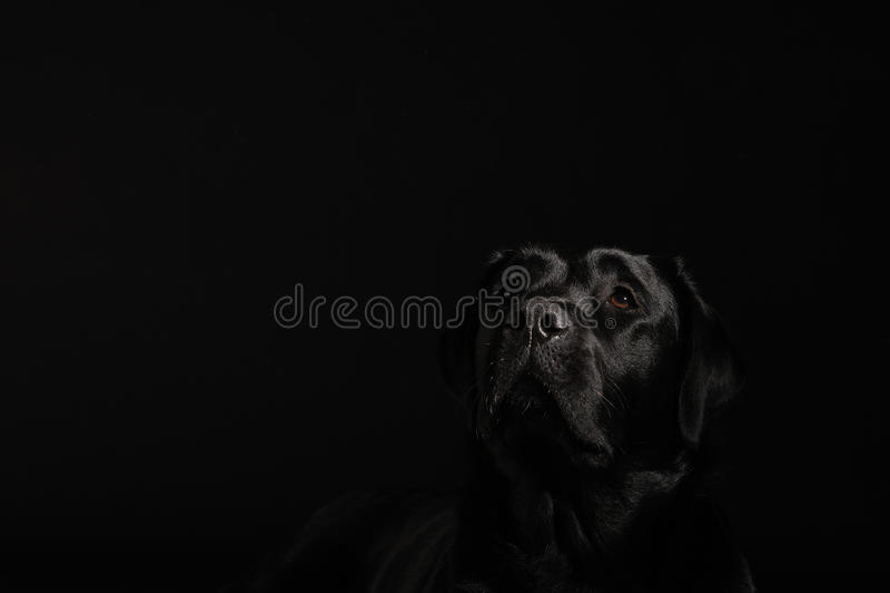 Perro perdiguero de Labrador negro fotografía de archivo libre de regalías