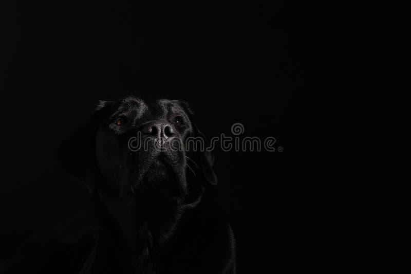 Perro perdiguero de Labrador negro foto de archivo