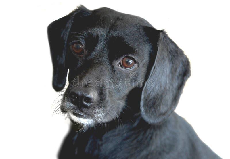 Perro perdiguero de Labrador negro fotos de archivo libres de regalías