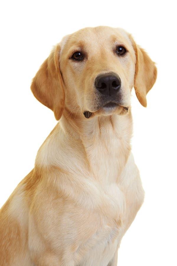 Perro perdiguero de Labrador orgulloso fotos de archivo libres de regalías