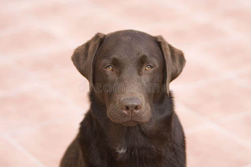 Perro perdiguero de Labrador - pista encendido fotos de archivo libres de regalías