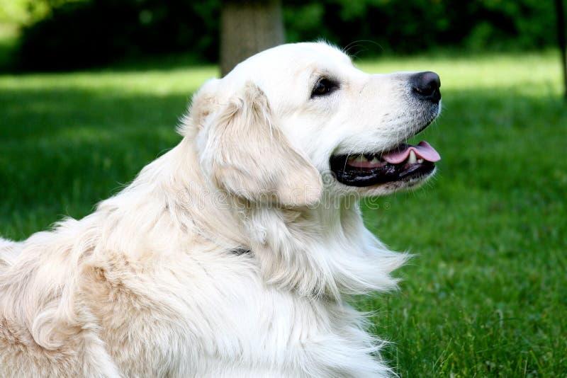 Perro perdiguero de oro imagenes de archivo