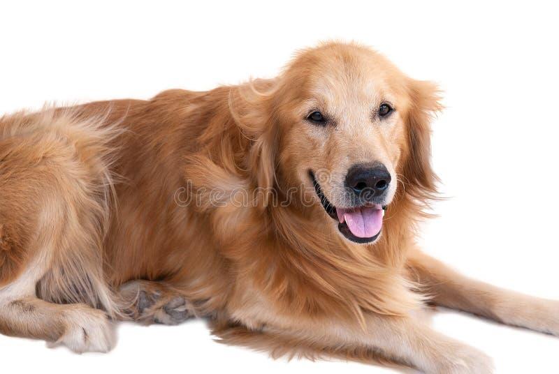 Download Perro perdiguero de oro imagen de archivo. Imagen de dentro - 64200119