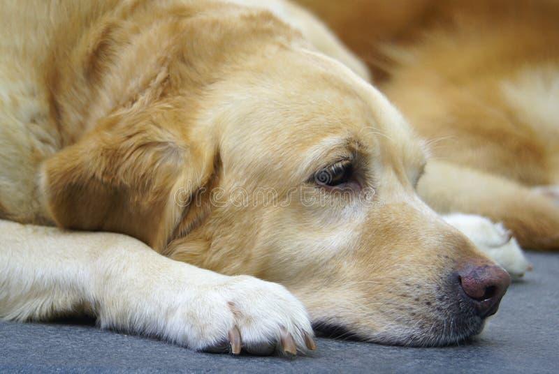 Perro perdiguero de oro agujereado fotografía de archivo