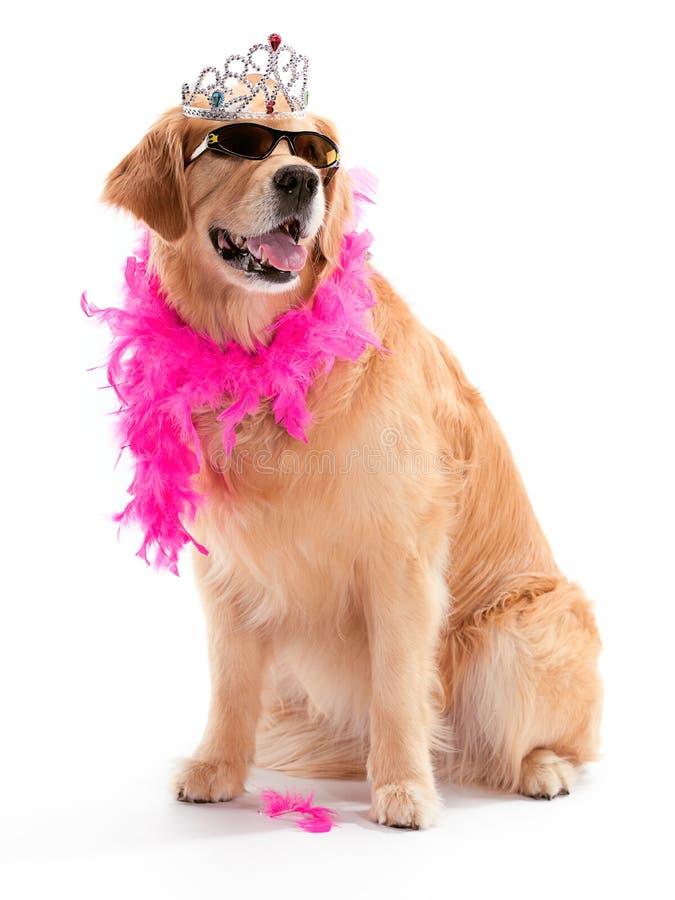 Perro perdiguero de oro de la diva imagenes de archivo