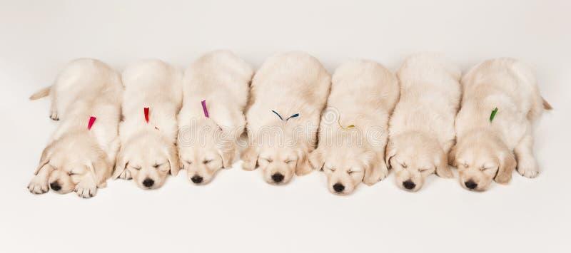 Perro perdiguero de oro de los perritos imagen de archivo