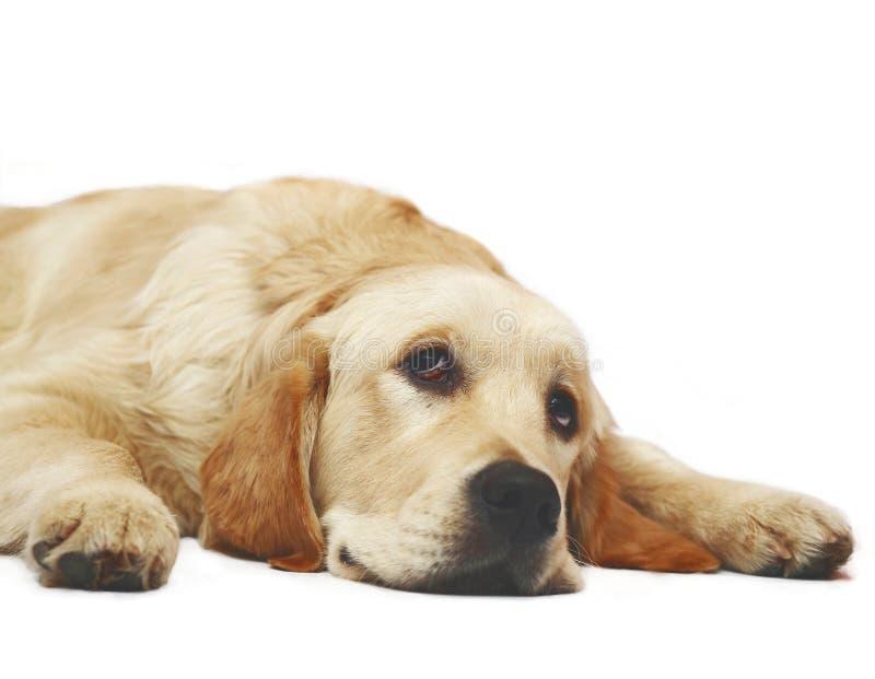 Perro perdiguero de oro de mentira fotos de archivo