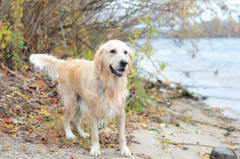 Perro perdiguero de oro en la playa imagen de archivo