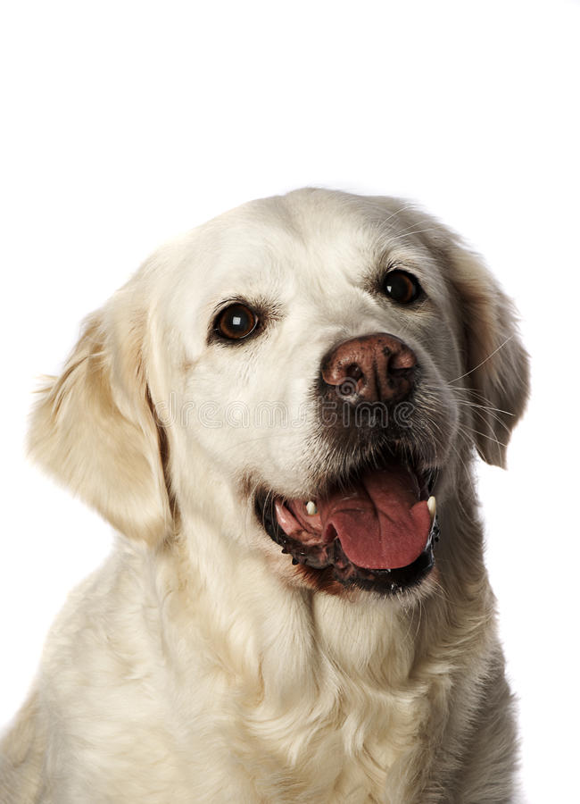 Perro perdiguero de oro I imagen de archivo