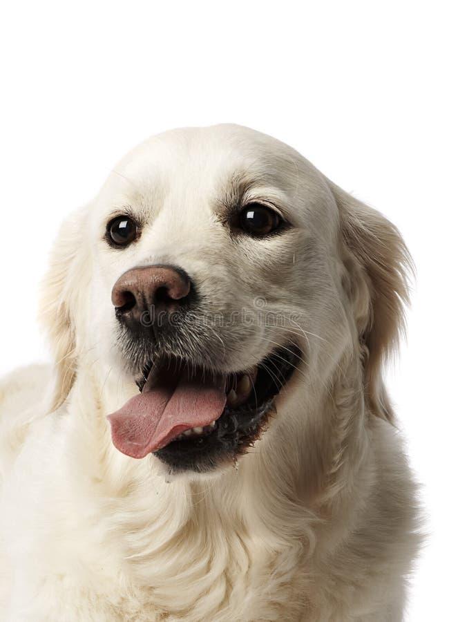 Perro perdiguero de oro II fotografía de archivo