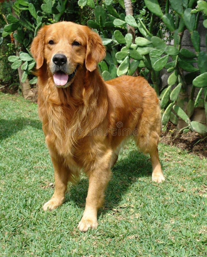 Perro perdiguero de oro para arriba imagen de archivo libre de regalías
