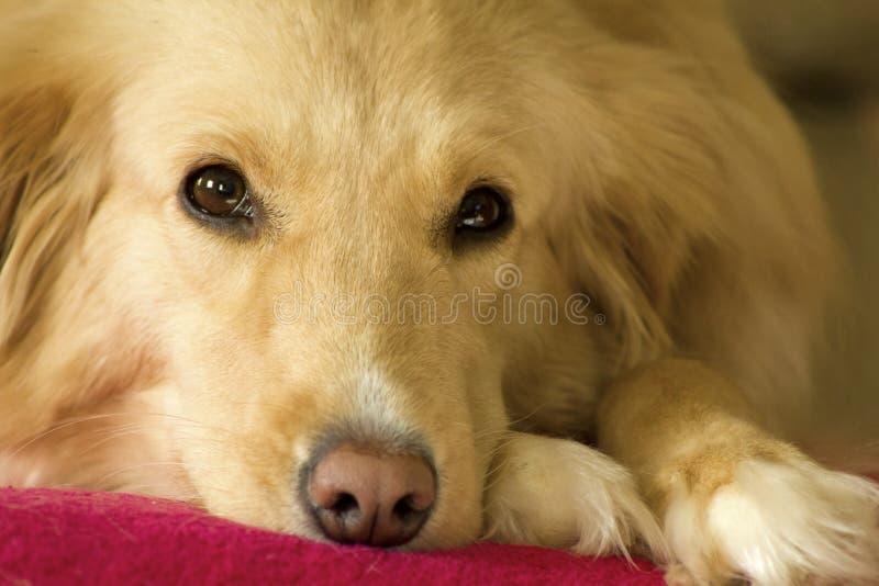 Perro perdiguero de oro soñoliento foto de archivo libre de regalías