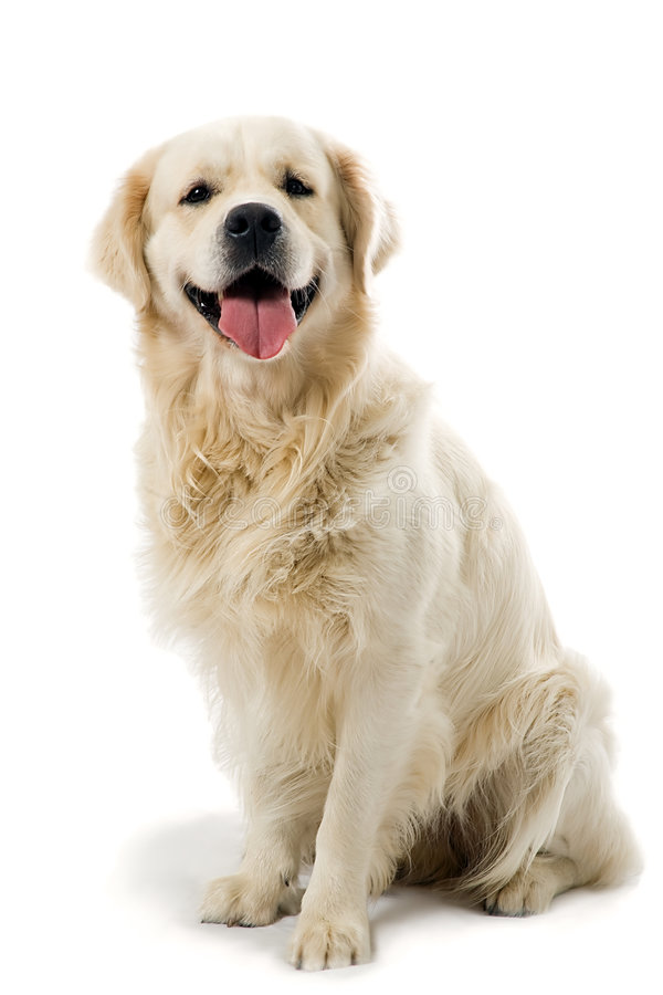 Perro perdiguero del oro que presenta en studi imágenes de archivo libres de regalías