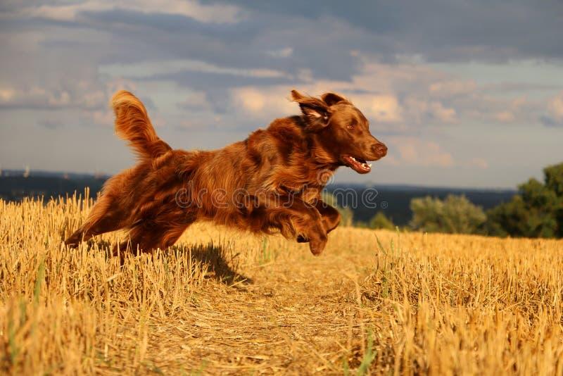 Perro perdiguero revestido plano en un campo de rastrojo foto de archivo