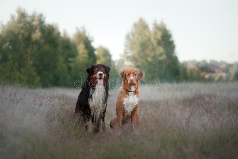 Perro perdiguero tocante del pato de Nova Scotia y pastor australiano Dos imagen de archivo
