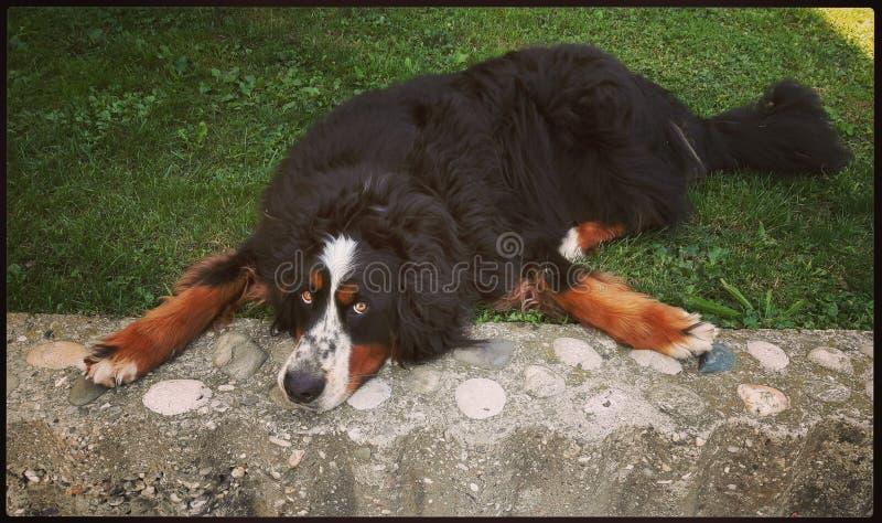 Perro perezoso foto de archivo