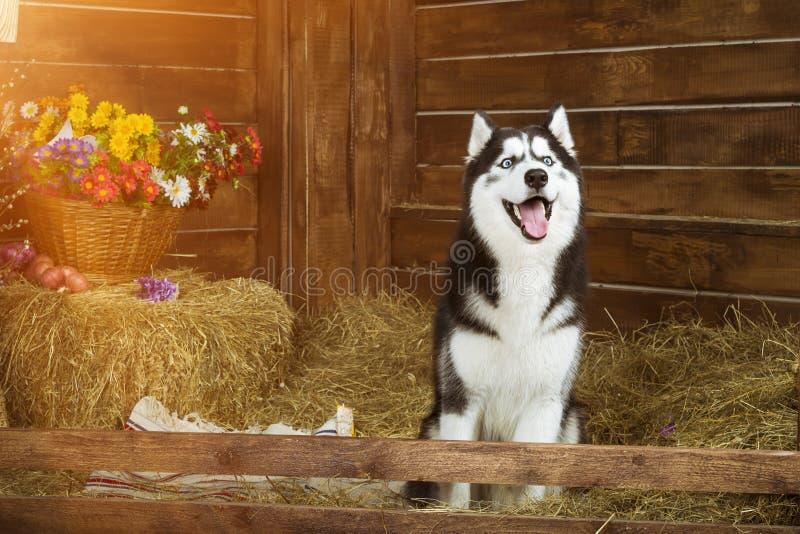 Perro-perrito del husky siberiano de la raza fotografía de archivo libre de regalías
