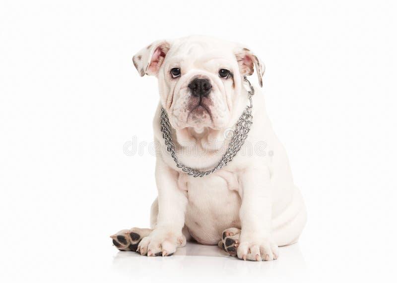 Perro Perrito inglés del dogo en el fondo blanco imagen de archivo