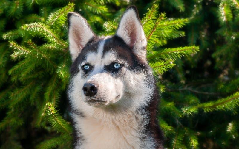 Perro, perros esquimales, raza del perro, animal doméstico, amigo de la familia, perro, laika foto de archivo libre de regalías