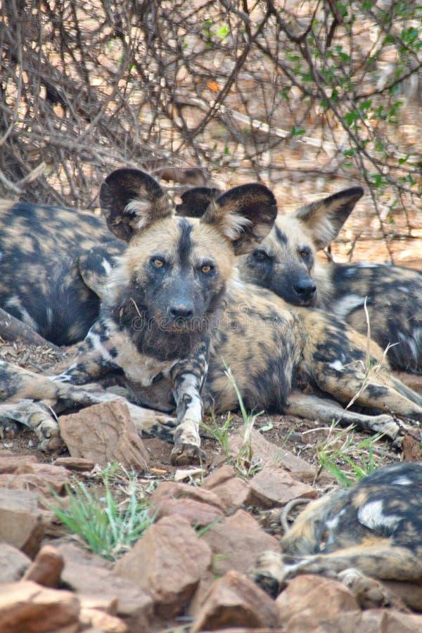 Perro pintado africano foto de archivo libre de regalías