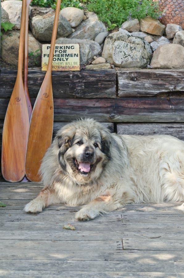Perro pirenáico de la montaña que descansa sobre muelle en verano foto de archivo