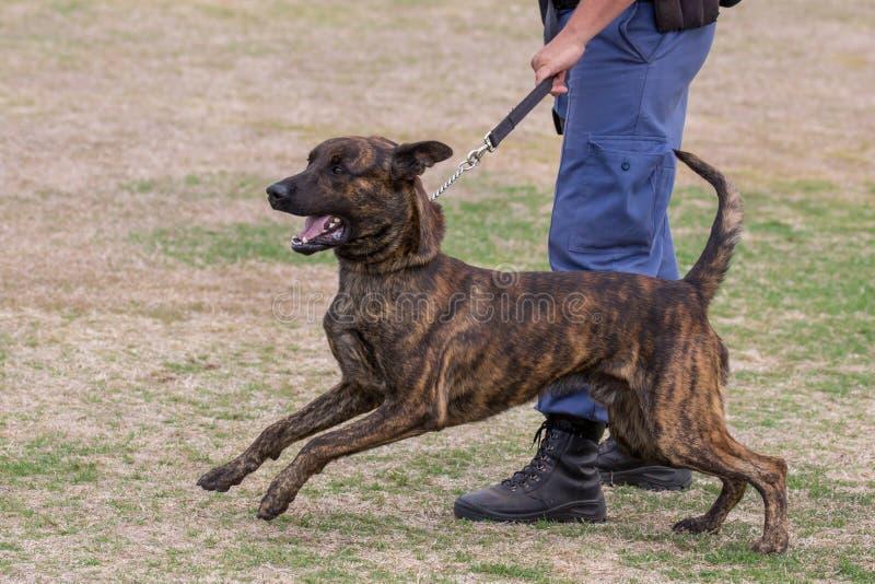 Perro policía y controlador enojados fotos de archivo